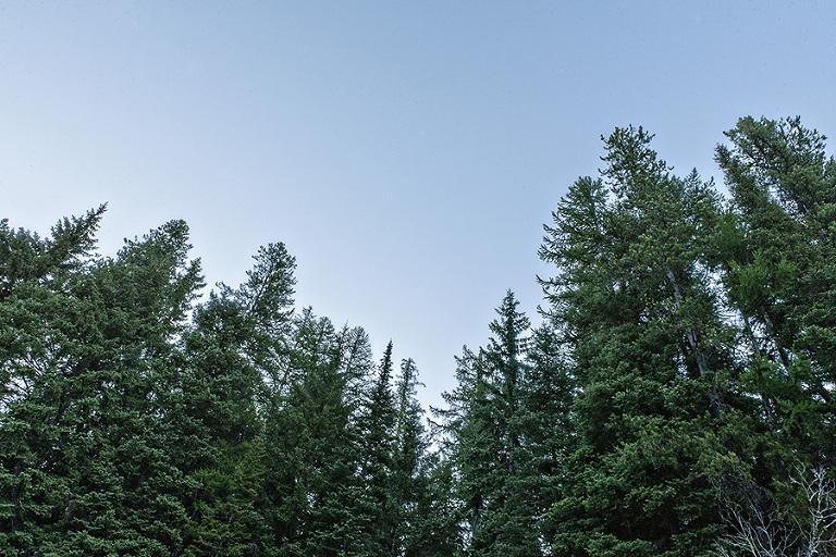 Montana Trees