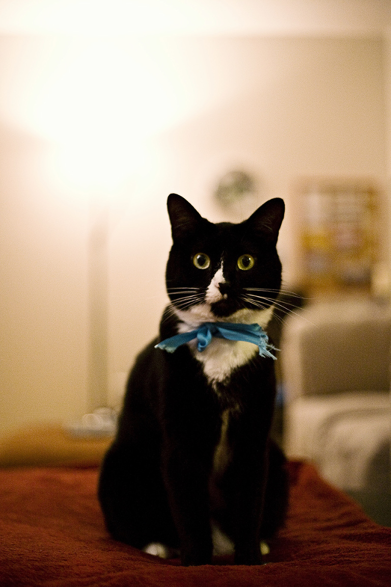tuxedo cat with a bow // Emily Wenzel Photography