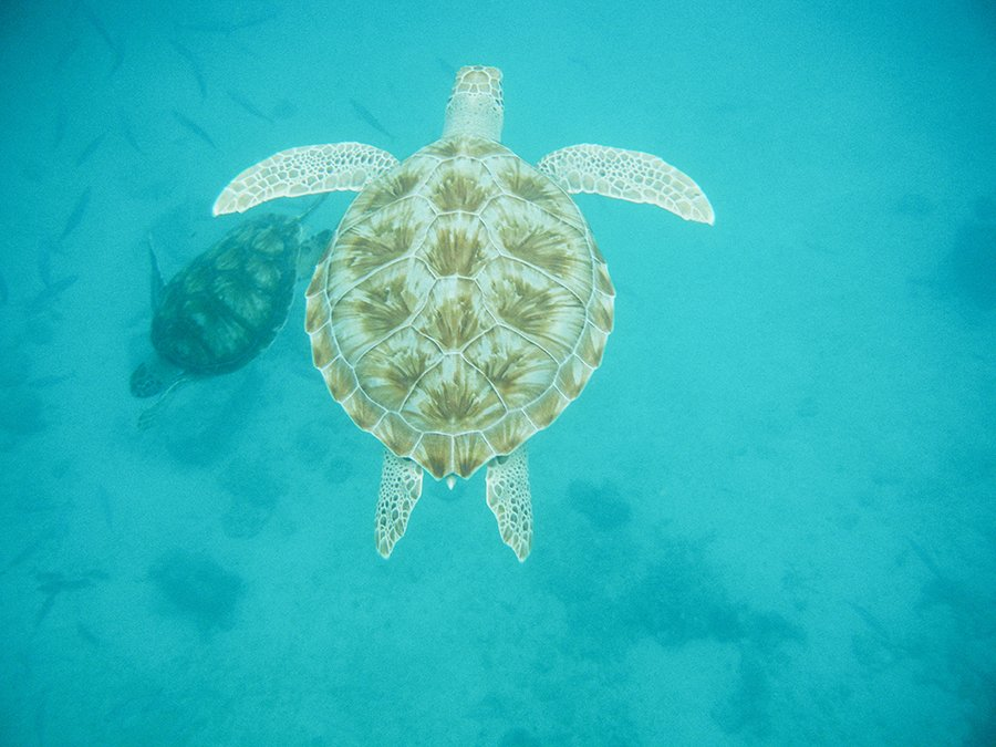 Swimming with Turtles Barbados // Emily Wenzel Photography