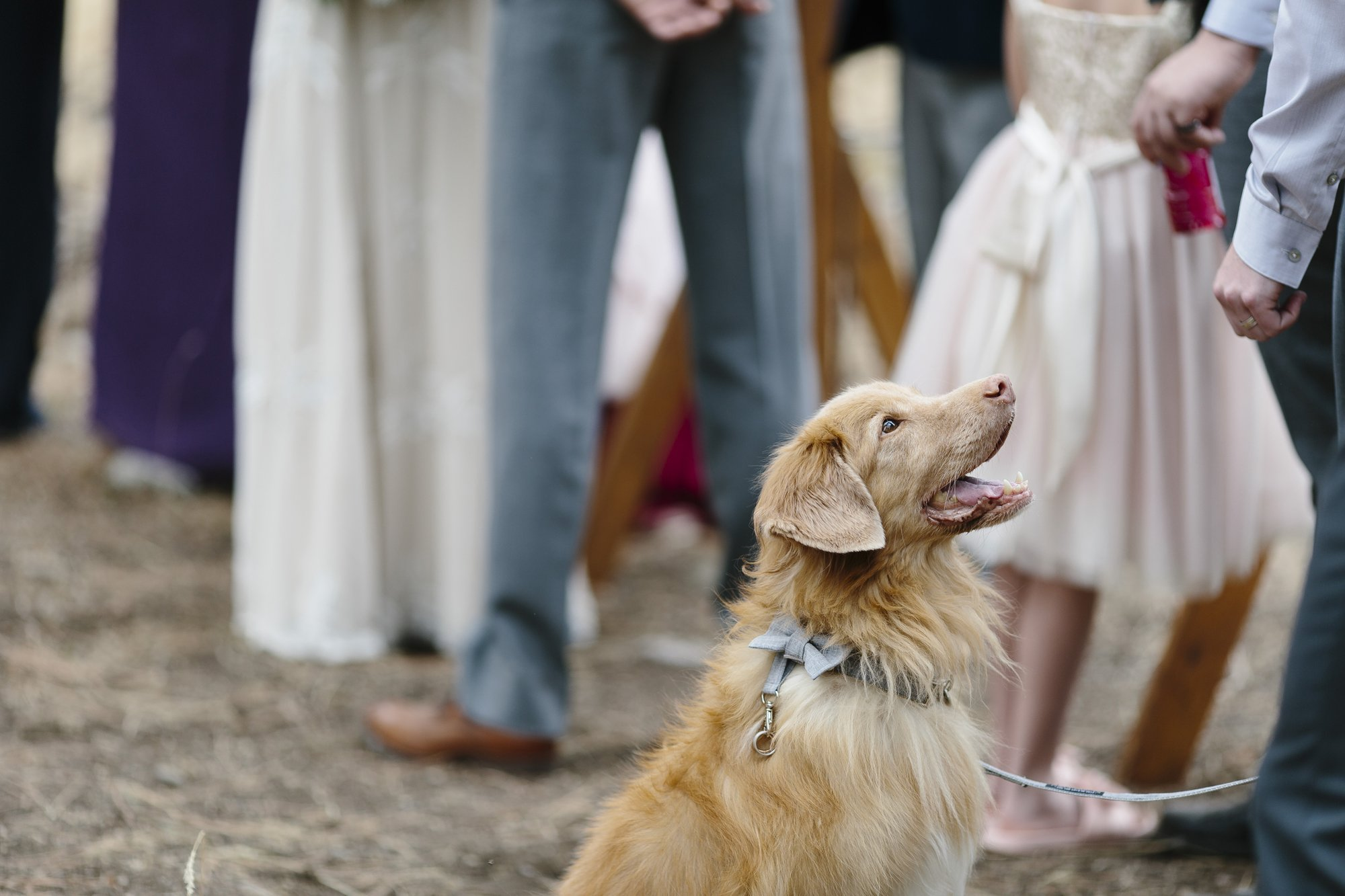 A doggy ring bearer